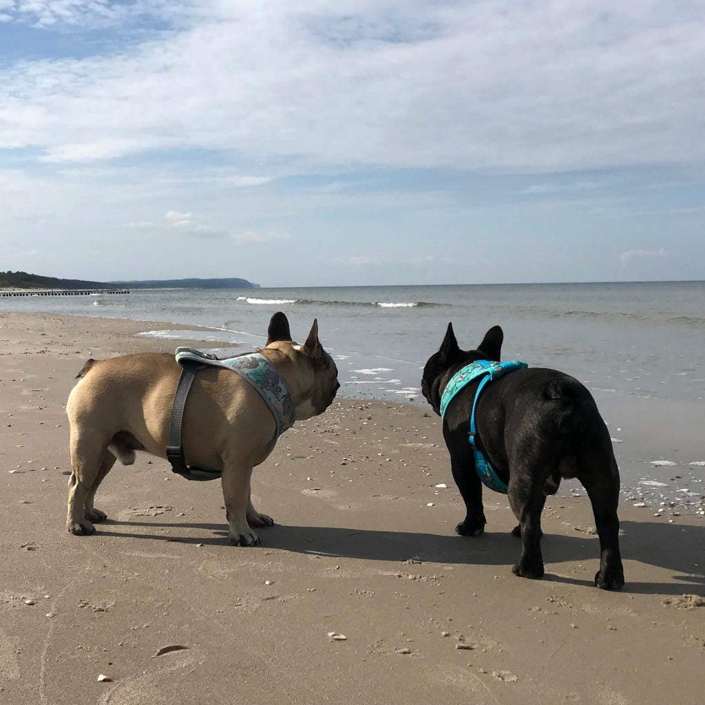 buldogi francuskie na plaży