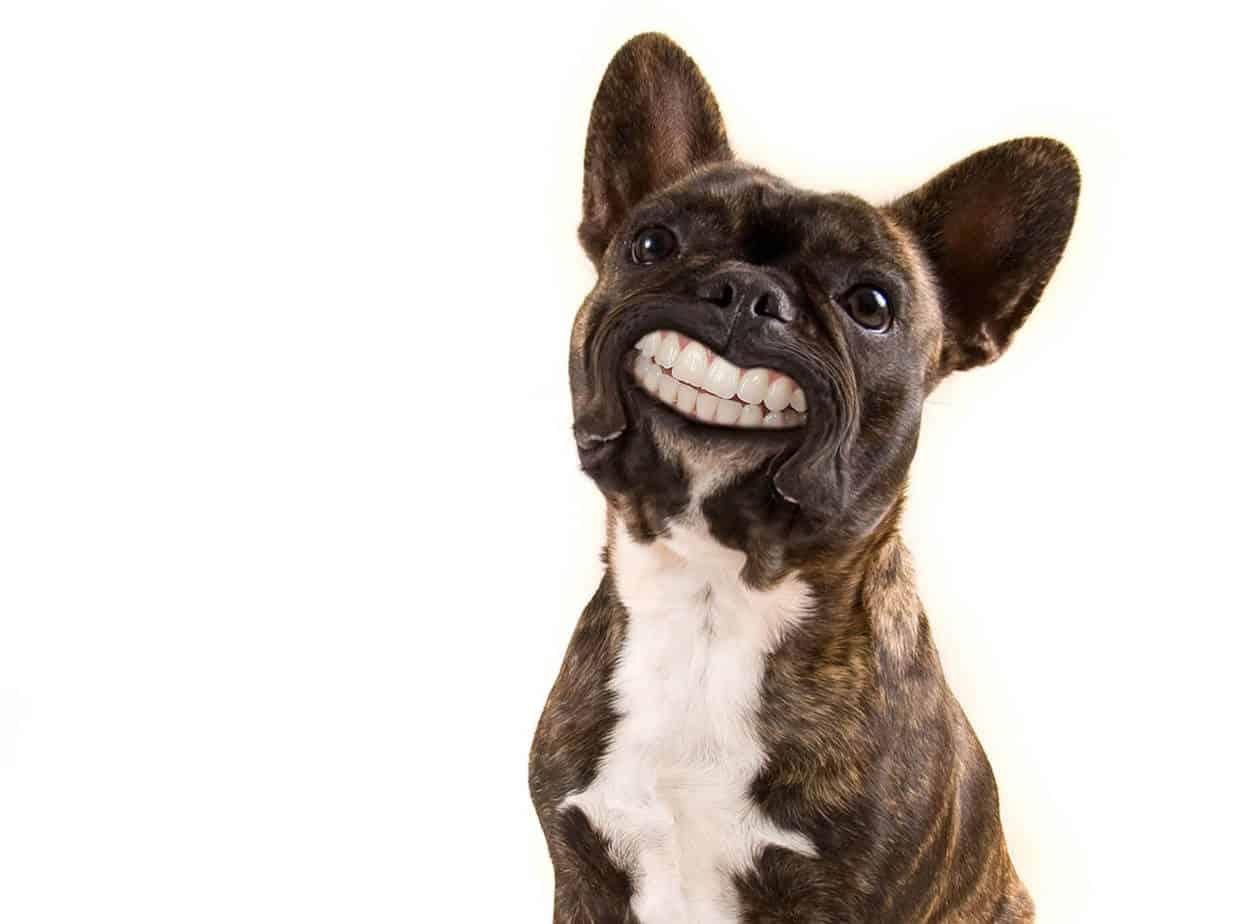 buldog francuski zęby